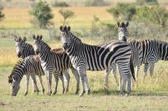 Wildlife, Terrestrial Animal, Zebra, Grassland Royalty Free Stock Photography