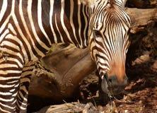 Wildlife, Terrestrial Animal, Zebra, Mammal Stock Image