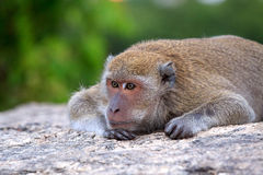 Wildlife of Thai Monkey in alone emotion Royalty Free Stock Photo