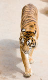 Wildlife tiger Stock Photos