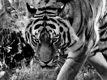Wildlife, Tiger, Black And White, Mammal Stock Images