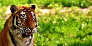 Wildlife, Tiger, Mammal, Grass Royalty Free Stock Photos