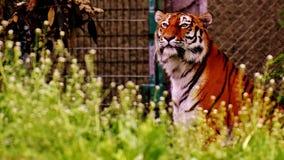 Wildlife, Tiger, Mammal, Grass Royalty Free Stock Photography