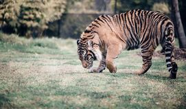 Wildlife, Tiger, Mammal, Terrestrial Animal Royalty Free Stock Photo