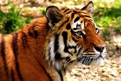 Wildlife, Tiger, Mammal, Terrestrial Animal stock photo