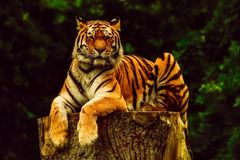 Wildlife, Tiger, Mammal, Terrestrial Animal royalty free stock photos