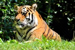 Wildlife, Tiger, Terrestrial Animal, Mammal Stock Photo