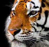 Wildlife, Tiger, Whiskers, Mammal Royalty Free Stock Photo