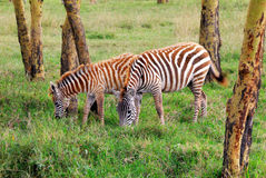 Wildlife in the tropical forest in eastern Africa Royalty Free Stock Photography