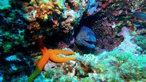 Wildlife undersea - Moray eel and a sea star in a colourfull reef