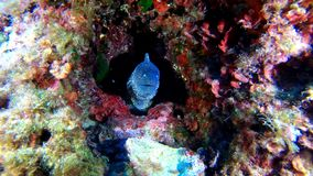 Wildlife underwater - Moray eel in a colourfull reef - Suba diving in the Mediterranean sea