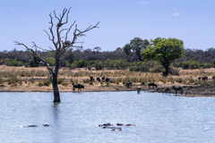 Wildlife and veld landscape in Kruger National park Royalty Free Stock Photo