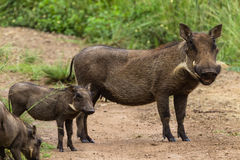 Wildlife Warthog Mother Calfs Stock Photos