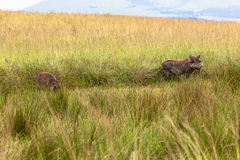 Wildlife Warthogs Landscape Royalty Free Stock Images