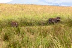 Wildlife Warthogs Landscape royalty free stock images