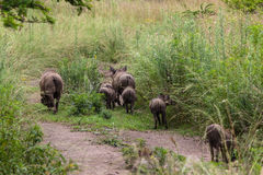 Wildlife Warthogs Litter Stock Photo