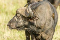 Wildlife - Water buffalo Stock Photography