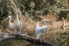 Pelicans on the river. Wildlife. Waterbird. Pelicans on the river stock photo