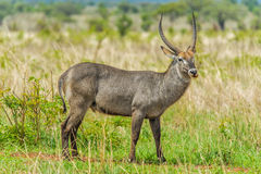 Wildlife - Waterbuck Stock Image