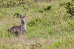 Wildlife Waterbuck Female Royalty Free Stock Photo
