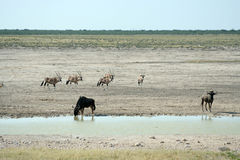 Wildlife at waterhole royalty free stock photography
