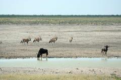 Wildlife at waterhole Royalty Free Stock Photography