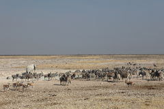 Wildlife at the waterhole in the Etosha Park Royalty Free Stock Images