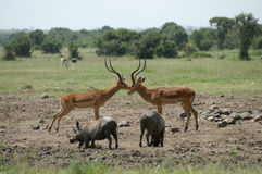 Wildlife at the watering hole. Warthogs and impala's at a watering hole in Ol Pejeta Kenya Royalty Free Stock Image