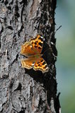 Wildlife of Wells Grey. A butterfly resting on a coniferous tree in Wells Grey Park, Canada Stock Image