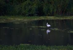 Wildlife white bird at the water reflection green trees and grass forest natural outdoors landscape. Wildlife white bird water reflection green trees grass royalty free stock photo