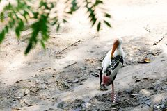 Wildlife white stork stands on the ground. In zoo stock photography