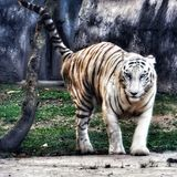 Wildlife ....white tiger... photo click. royalty free stock images