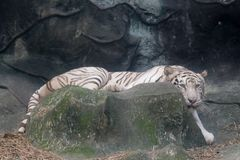 Wildlife of white tiger on rock in the zoo. Wildlife of white tiger in the zoo at Thailand stock photography
