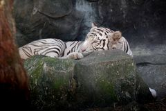 Wildlife of white tiger on rock in the zoo. Wildlife of white tiger in the zoo at Thailand stock photo