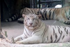 Wildlife of white tiger in the zoo. At Thailand stock image