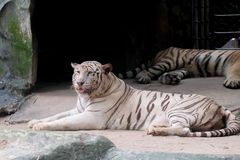Wildlife of white tiger in the zoo. At Thailand stock images