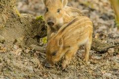 Wildlife - Wild Boar Royalty Free Stock Photography