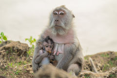 Wildlife wild monkey mother baby habitat stock photos