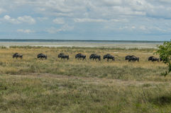 Wildlife - Wildebeest Stock Photo