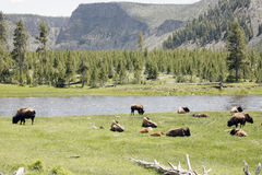 Wildlife in yellowstone Stock Photography