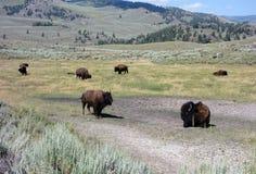 Wildlife at yellowstone park Royalty Free Stock Photos