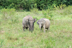 Wildlife of Young Asian Elephant eating grass in forest. Royalty Free Stock Image