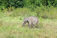 Wildlife of Young Asian Elephant eating grass in forest. Kui Buri National Park. Thailand Stock Photography