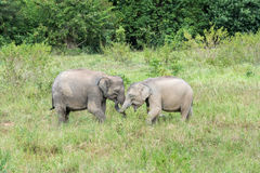 Wildlife of Young Asian Elephant eating grass in forest. Kui Buri National Park. Thailand Stock Photos