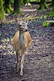 Wildlife, young red deer standing in woodland Stock Photography