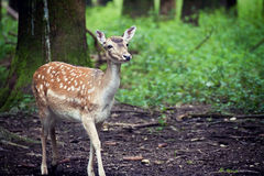 Wildlife,young red deer standing in woodland Royalty Free Stock Image