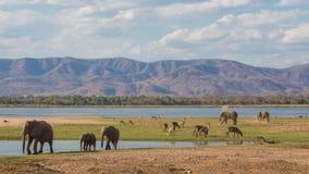 Wildlife on the Zambezi river. African Elephant (Loxodonta africana), Common Waterbuck (Kobus ellipsiprymnus), Impala (Aepyceros melampus stock photo