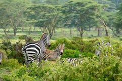 Wildlife Zebra in Africa Stock Image
