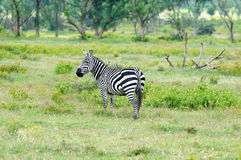 Wildlife Zebra in Africa. Wildlife  Zebra in safari in Africa, Kenya, Naivasha National Park Royalty Free Stock Photography