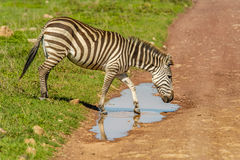 Wildlife - Zebra Stock Photo
